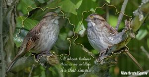 quote-sparrows-white-throated