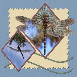 variable-darner-dragonflya