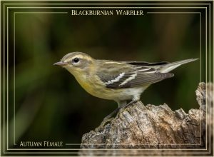 warbler-blackburnian-female-10-sept
