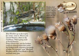warbler-yellow-rumped-2