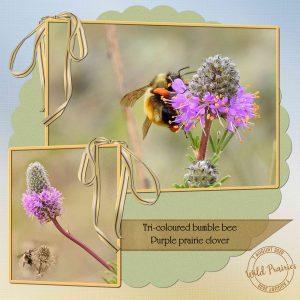 bee-on-purple-praiare-cloveraaa