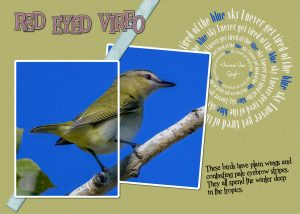 vireo-red-eyed