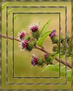 garden-frame-arctium-burdock
