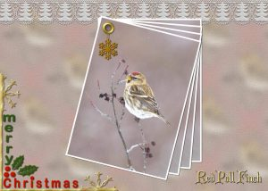 exmas-ecard-red-poll-finch
