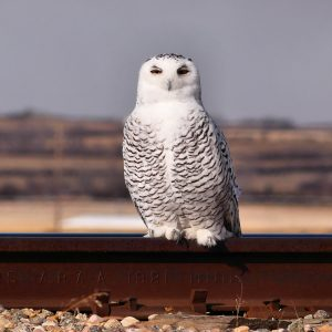 owl-snowy-4-nov-12a