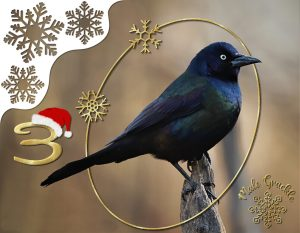 advent-grackle