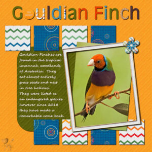 concentration-gouldian-finch-600