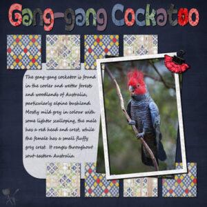 gang-gang-parrot-600