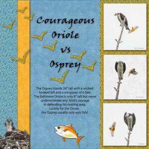 oriole-vs-osprey-display