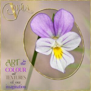 quote-viola-flower-1