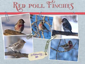 paperclip-challenge-red-poll-finchesa