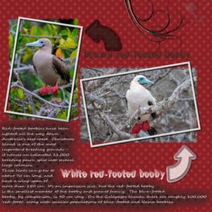 red-footed-white-booby-and-brown-booby-resized
