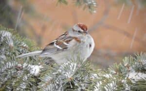 sparrow-american-tree-13-march