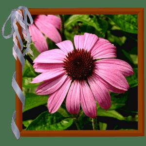 coneflower-in-ribboned-frame-sm