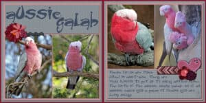 aussie-galah-double-page-even-solid-border-to-divide-for-printing-2