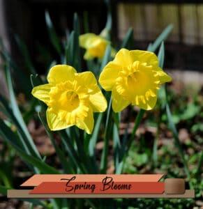 daffodils-sm-2