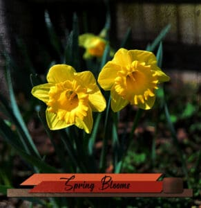 daffodils-with-black-overlay-sm-2
