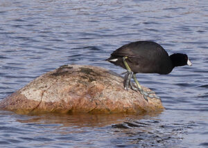 coot-3-may-1-sharpen-stabilize