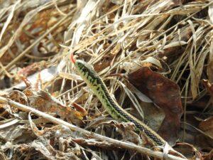 garter-snake-30-april-1