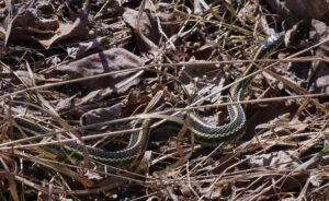 garter-snake-30-april-2