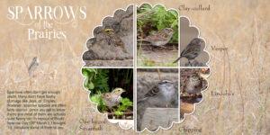 sparrows-native