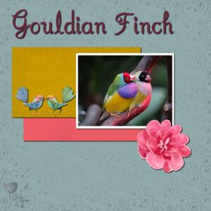 gouldian-finch-resized