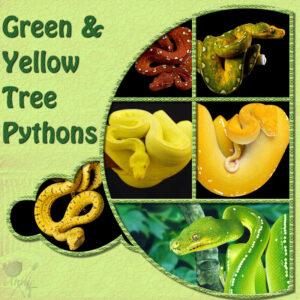 green-yellow-tree-pythons-resized-left