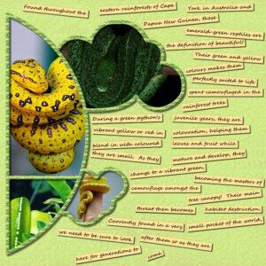green-yellow-tree-pythons-resized-right