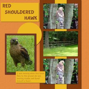 2021-6-1-red-shouldered-hawk-tinci_ceaf_76-600