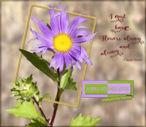 aster-flower-native-purple-stemmed