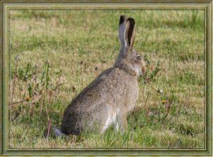 jack-rabbit-hare-baby