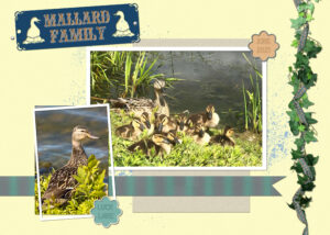 mallard-duck-family-24-june