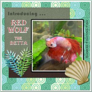 adventure-red-wolf-betta_scaled600-2