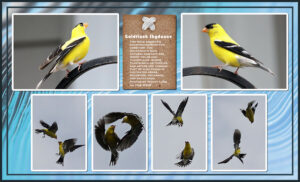 goldfinch-skydance_scaled