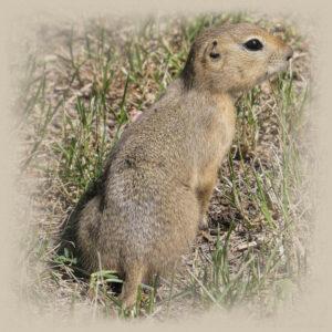 ground-squirrel-mask