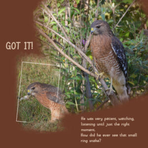 2021-10-1-red-shouldered-hawk-2-on-the-hunt-template-3-lady22-600
