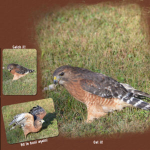 2021-10-1-red-shouldered-hawk-3-catch-it-eat-it-fly-away-template-6-lady22-600-3